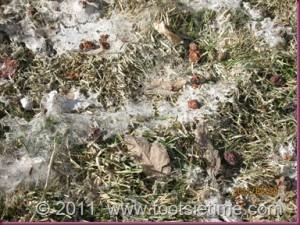 Splendor in the Grass?!  Nope, You've Got Snow Mold!  | Spruce Grove Stony Plain Parkland County Real Estate | Barry Twynam